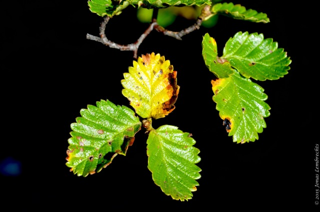 Branch of Nothofagus pumilio