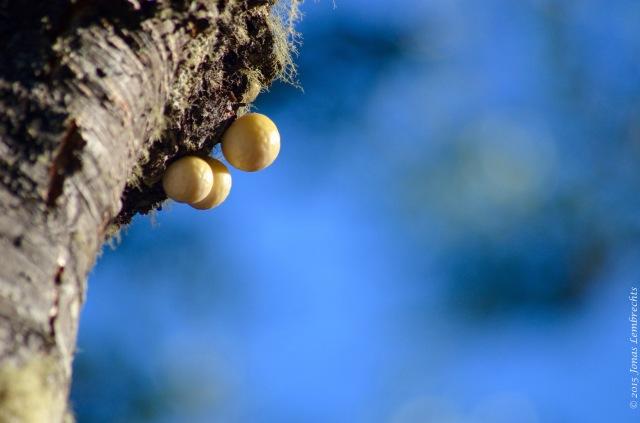 Darwin's fungus Nothofagus pumilio