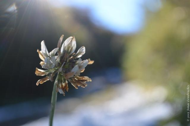 White clover flower