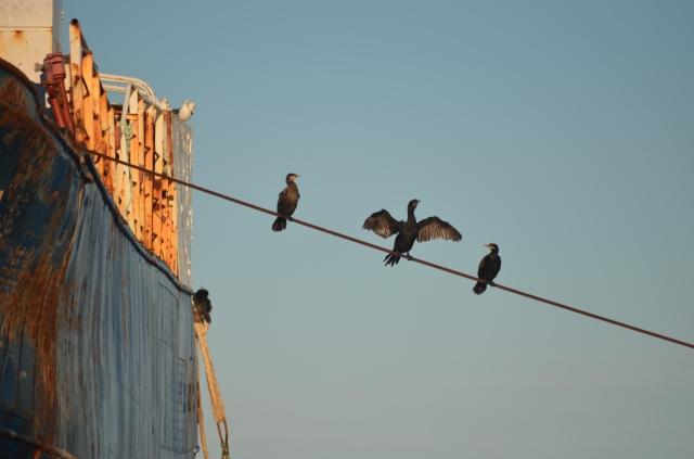 Cormorant on abandont ship