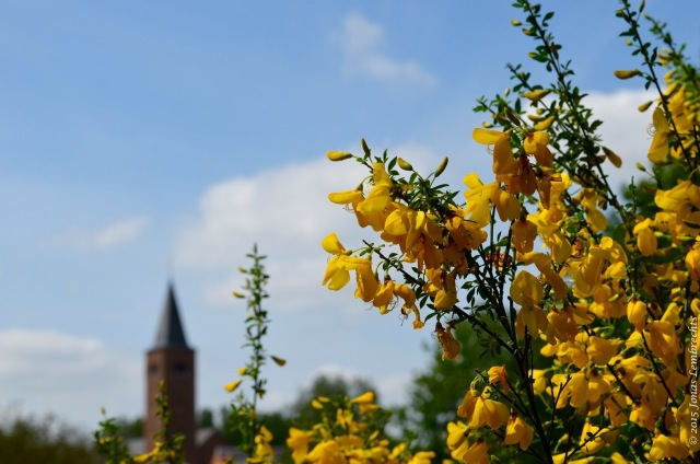 Broom flowering in a village