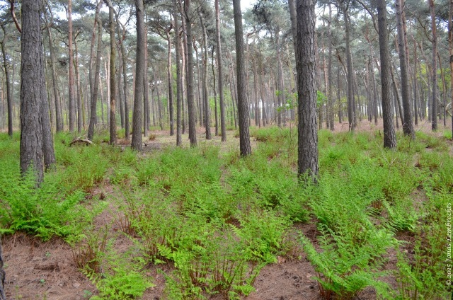 Pine forest with buckler ferns
