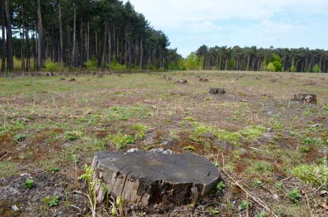 Cleared pine forest