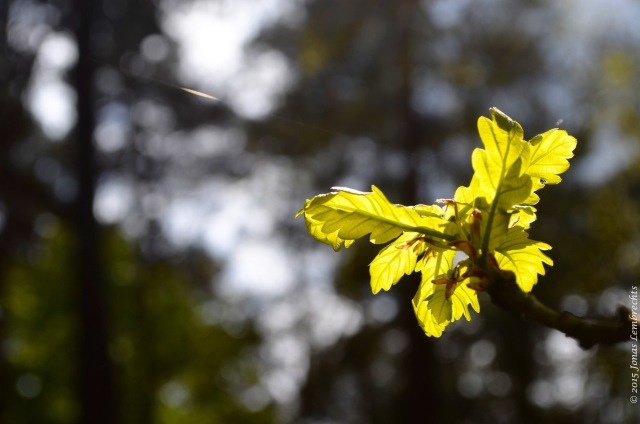 Inland oak