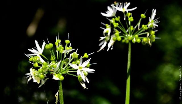 Wood garlic in Hellebos