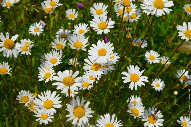 Field of Ox-eye daisy