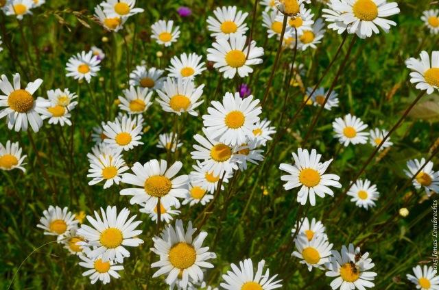 Field of Ox-eye daisy
