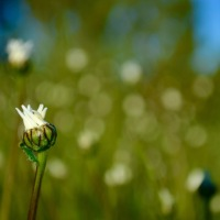 The fascinating story of Ox-eye Daisy