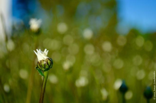 Budding ox-eye daisy