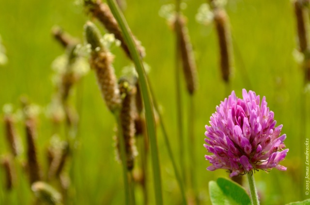 Currently, the app focusses on 24 European invaders, but it could do with some more species and a global scale. Tracking the global expansion of red clover, for example, would be a nice extra.