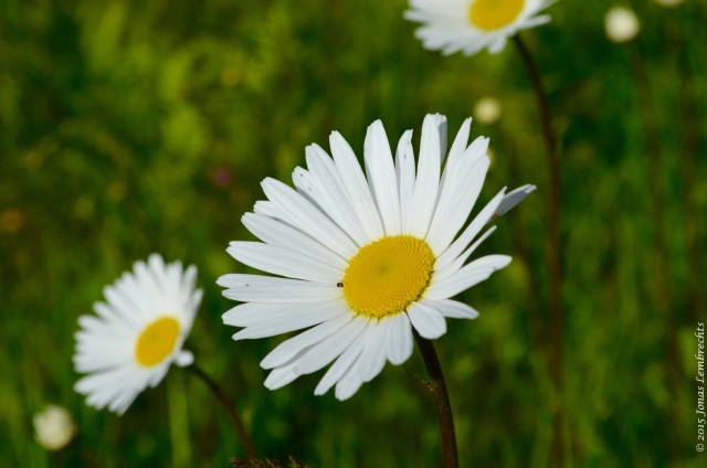 Flower of ox-eye daisy