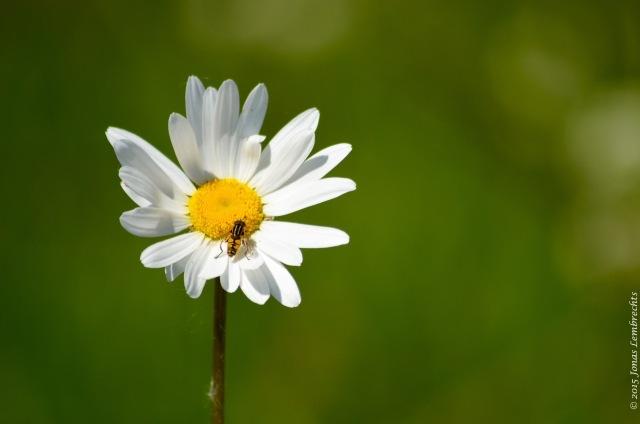 Flower of ox-eye daisy
