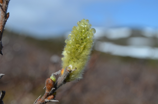 Salix right after snowmelt