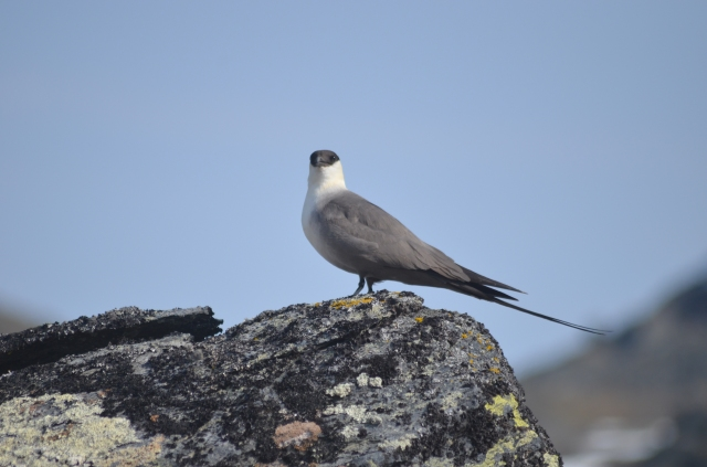What are you looking at - Skua