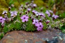 Silene acaulis or cushion pink, cutest plant of the Arctic