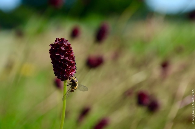 Great burnet flower
