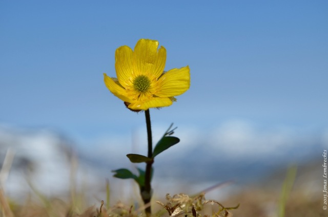 Buttercup is the earliest in spring, here