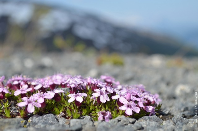 Silene in the mountains