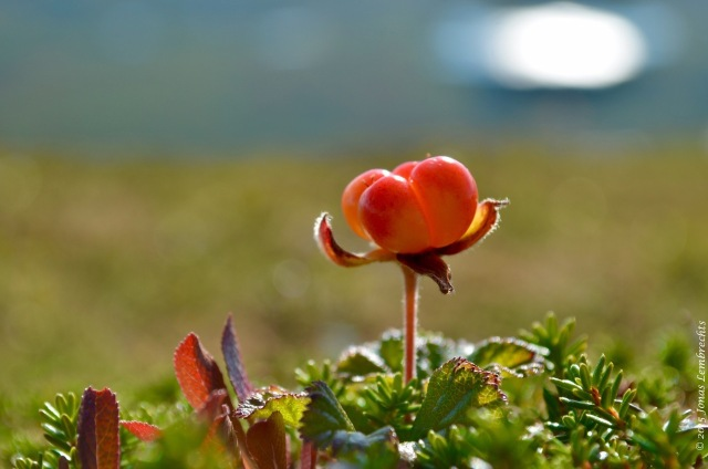 Cloudberry in Abisko mountains
