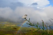 Achillea millefolium and rainbow