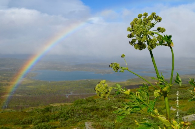Angelica archangelica and rainbow