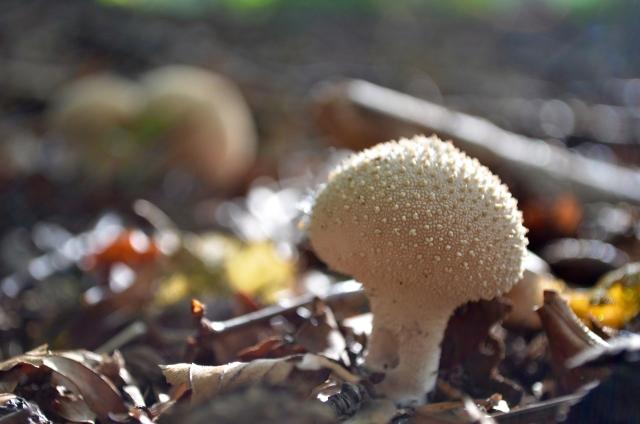 Scottish mushroom