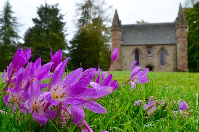 Autumn crocus on Boot Hill, Scone Palace