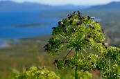 Disgusting black flies on Angelica archangelica