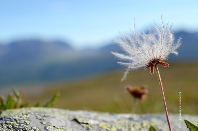 Fluffy seeds of Dryas octopetala