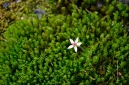 Saxifraga on mosses
