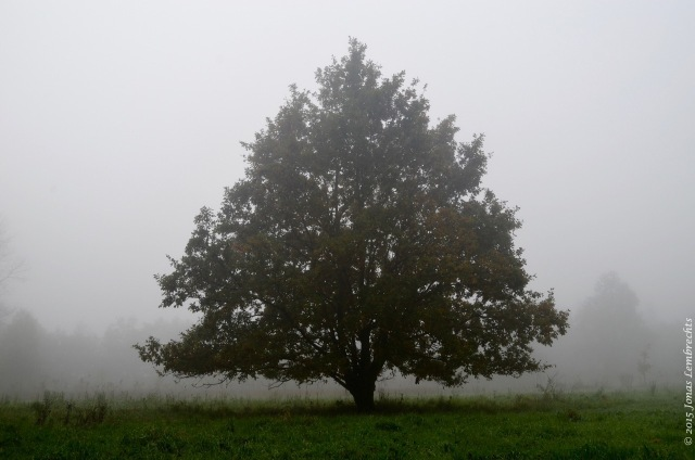 Lonely oak in the mist