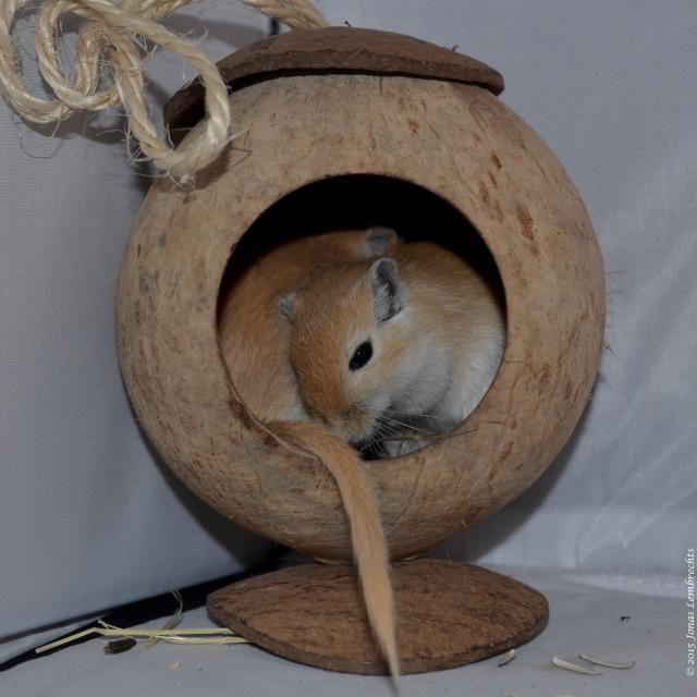 Gerbils sleeping in a coconut