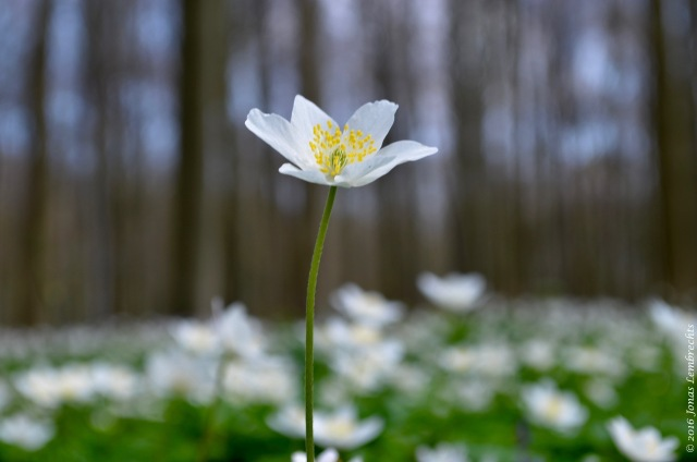 Wood anemone (Anemone nemorosa), the much-needed white counterpart of all this purple power.