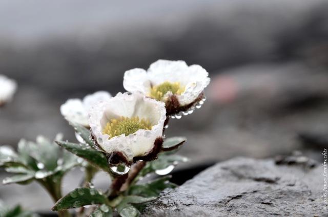 Ranunculus glacialis - 1
