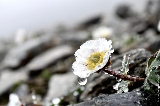 Ranunculus glacialis - 2