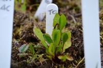 Seedlings of Taraxacum officinale