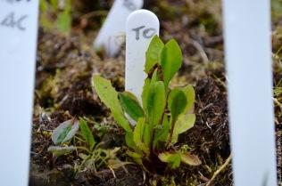 Seedlings of Taraxacum officinale