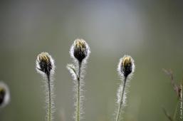 Hieracium alpinum