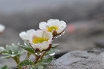 Ranunculus glacialis