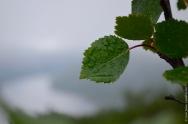 Betula pubescens overlooking fjord