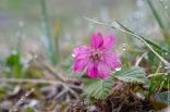 Rubus arcticus
