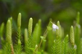Linnaea borealis and Lycopodium annotinum