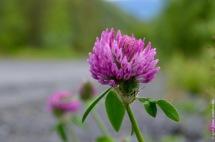 Non-native Trifolium pratense