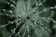 Equisetum sylvaticum in the rain