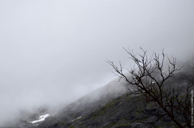 Dead birch on a hill