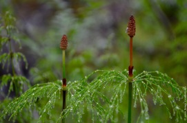 Equisetum sylvaticum, the tiny Christmas tree