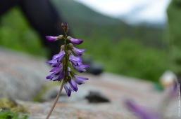 Astragalus alpinus