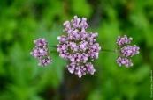 Valeriana sambucifolia