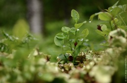 Vaccinium myrtillus, the blueberry
