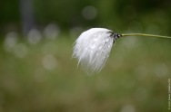 Cute fluffy Eriophorum vaginatum